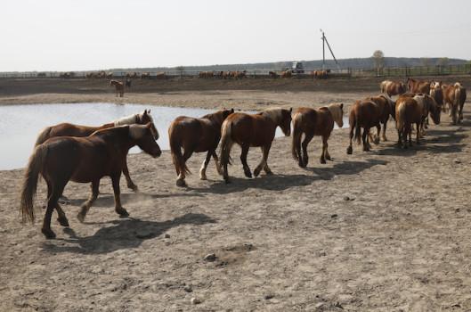 ცხენები ფერმიდან © EPA/TATYANA ZENKOVICH