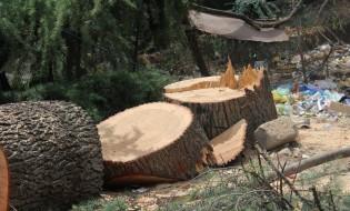 ყაზბეგის N24-ში გაჩეხილი საღი ხეები. 17.08.2016. ფოტო: ათინა ბრეგვაძე/ნეტგაზეთი