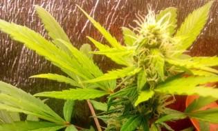 ფოტო : geocanabis.com