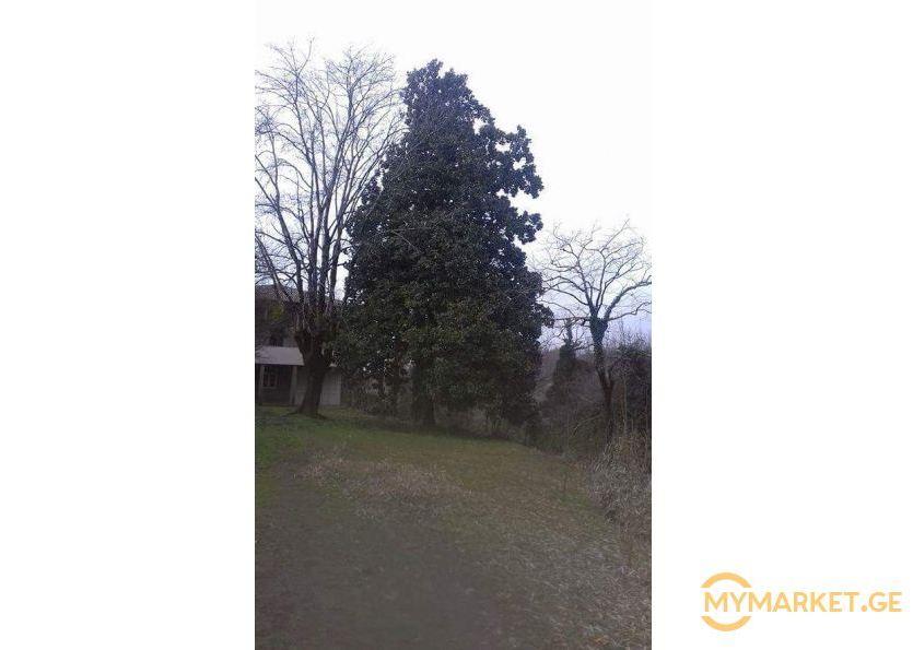 """""""საუკუნე ნახევრის"""" მაგნოლიის ხე, რომელსაც სოფელ ხეთაში მოქალაქე 50 ათას დოლარად ყიდის"""