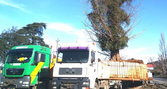 ხეებს ციხისძირში სახელმწიფო აუქციონზე ყიდის