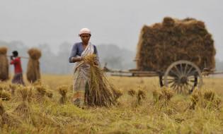 ინდოელი ფერმერი მოსავალს იღებს  ფოტო: EPA/STRINGER