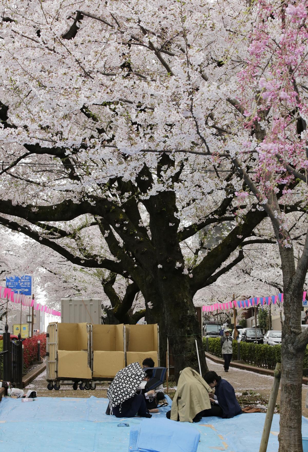 საკურა ტოკიოში. 06.04.2017 ფოტო: EPA/KIMIMASA MAYAMA