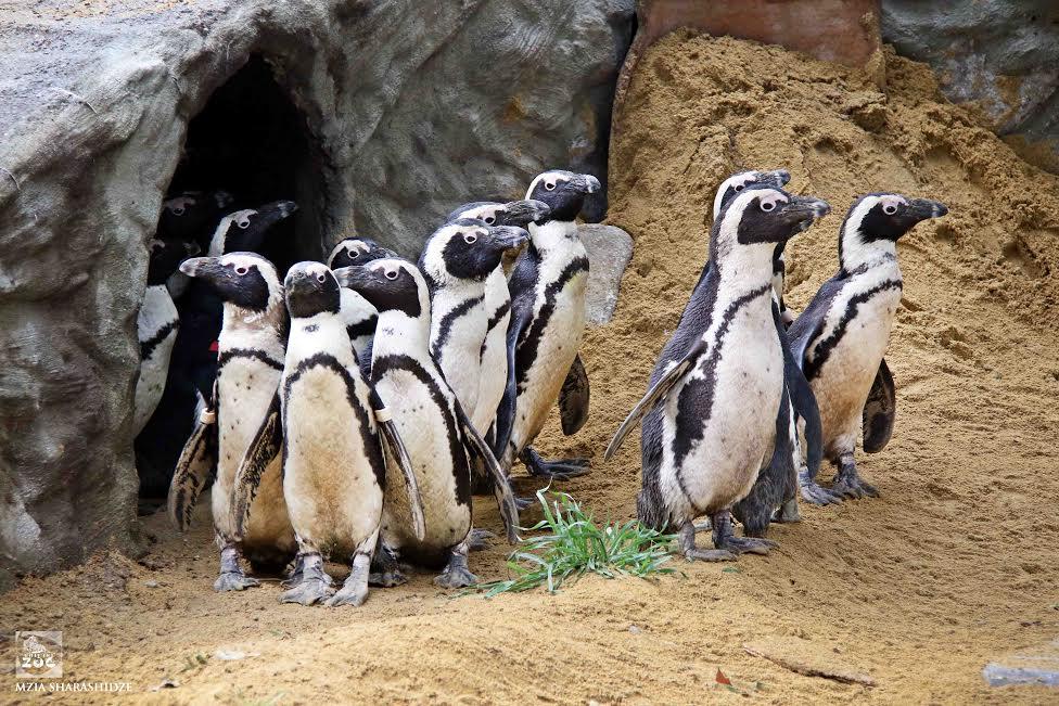აფრიკული პინგვინები. ფოტო: თბილისის ზოოპარკი