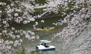 საკურა ტოკიოში. ფოტო:  EPA/KIMIMASA MAYAMA