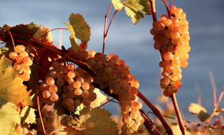 ვაზი, ყურძენი. ფოტო: მთავრობა