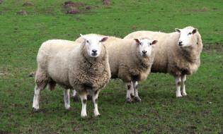 სამი ცხვარი. ფოტო: geograph.org.uk