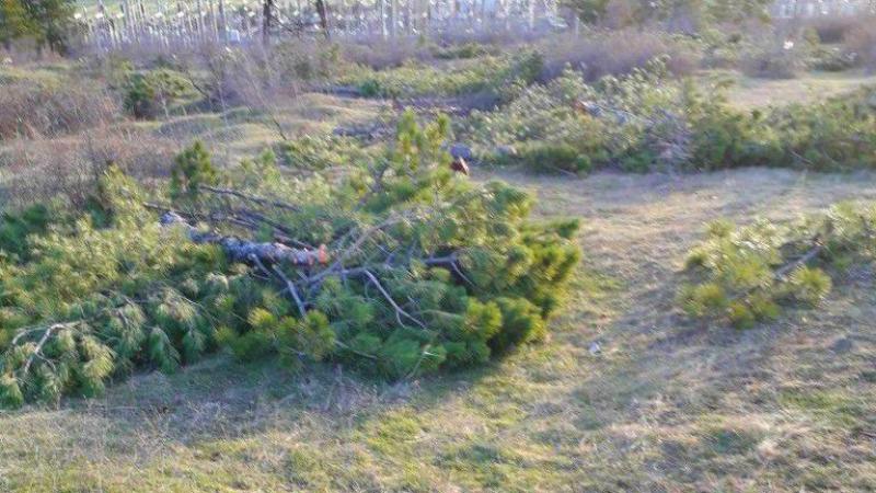მუხათწყაროსთან 100-ზე მეტი ფიჭვის ხე უკანონოდ მოჭრეს