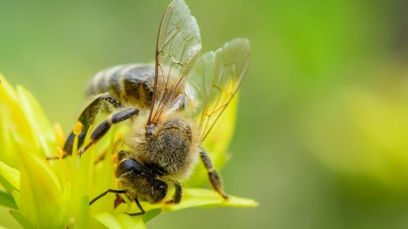 ევროკავშირი ფუტკრისთვის მავნე პესტიციდების გამოყენებას კრძალავს