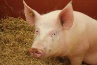 გარეული ღორი. cc: Wikipedia/Creative Common