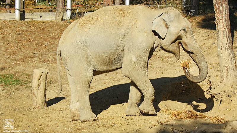 თბილისის ზოოპარკის სპილო მორიგ ოპერაციას იკეთებს – გრანდის ისტორიას BBC გააშუქებს