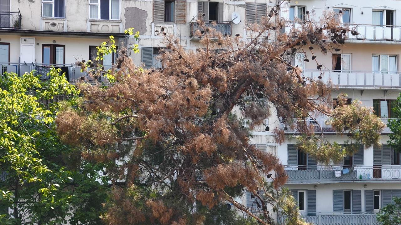 В Тбилиси массово высыхают сосны — каков выход?