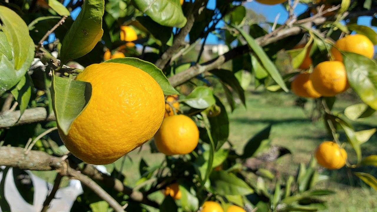 В Абхазии сбор мандаринов в самом разгаре