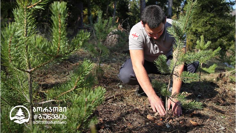 #ბორჯომიბუნებისგულშემატკივარის ეგიდით, ბორჯომის პლატოს ტერიტორიაზე 3,5 ჰექტარი ტყის ფართობი უკვე აღდგენილია