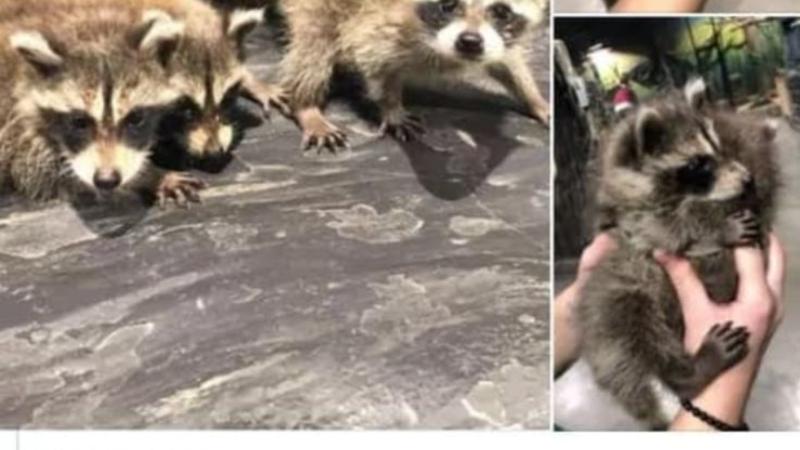 В Грузии пост о продаже енота стал поводом к расследованию