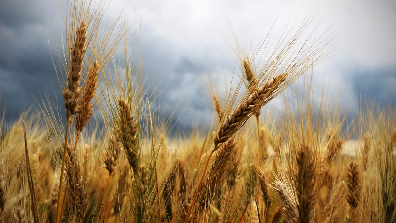 Россия повысила тариф на пшеницу — как Грузия переорентирует импорт?