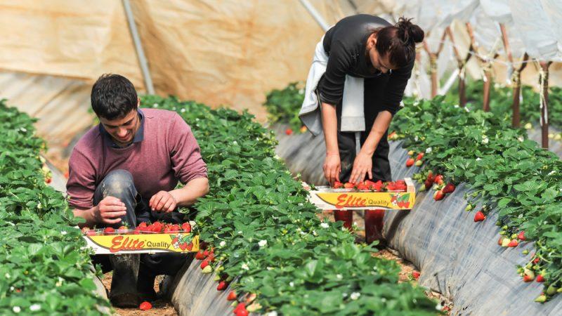 Сезонные работы: Более пяти десятков граждан Грузии уже трудятся на полях Германии