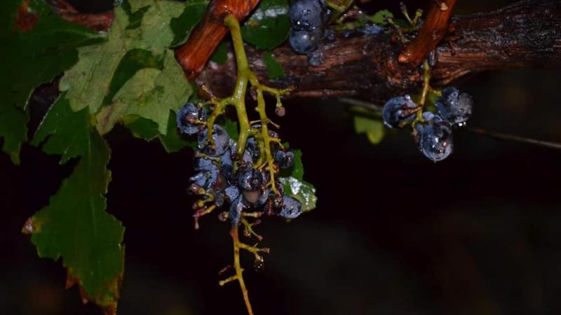 სახელმწიფო დასეტყვილ ყურძენს ჩაიბარებს